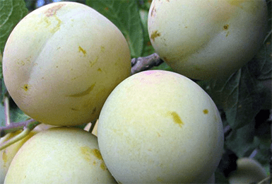 Слива — описание 22 самых популярных сортов: желтая, ренклод, венгерка и другие