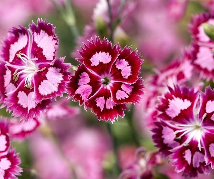 Выращивание гвоздики турецкой (32 фото): посадка семенами и уход в открытом грунте за садовой многолетней гвоздикой. что делать, если отцвела?