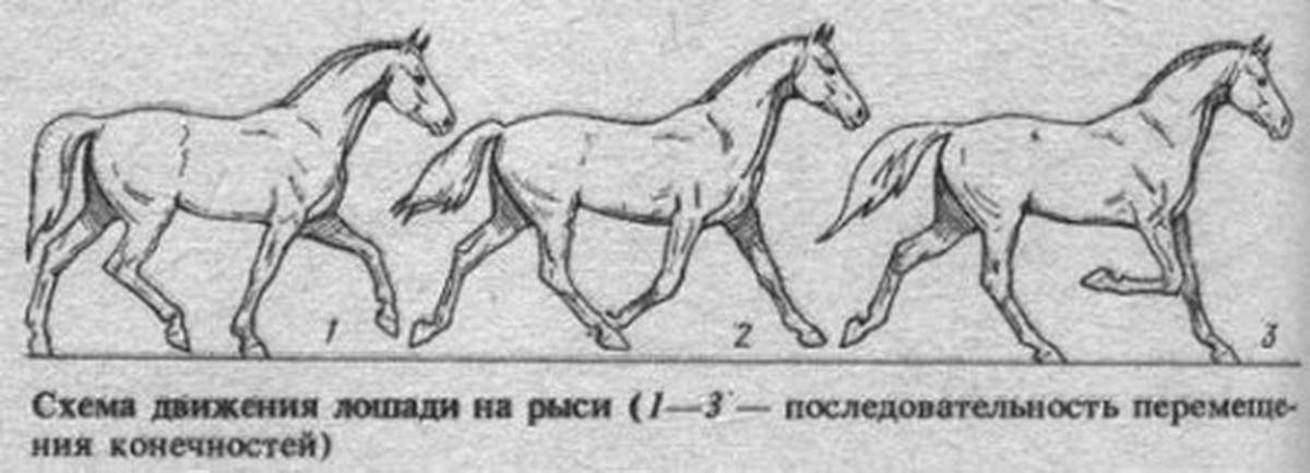 Аллюры лошадей: разновидности бега, их описание и характеристика - всёпродачу