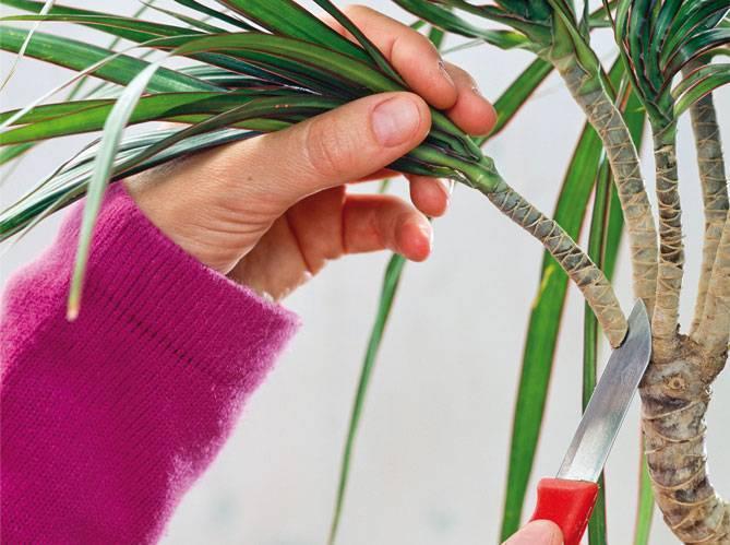 Как рассадить драцену в домашних условиях: все способы - sadovnikam.ru