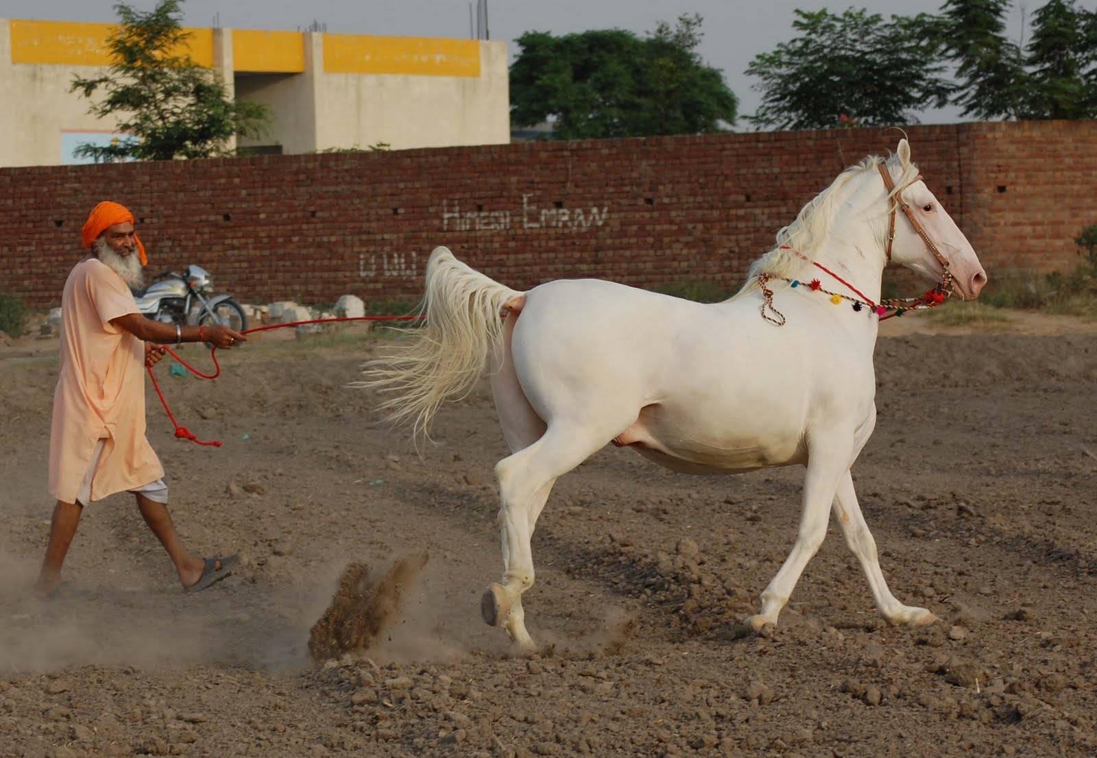 Марвари: порода лошадей
