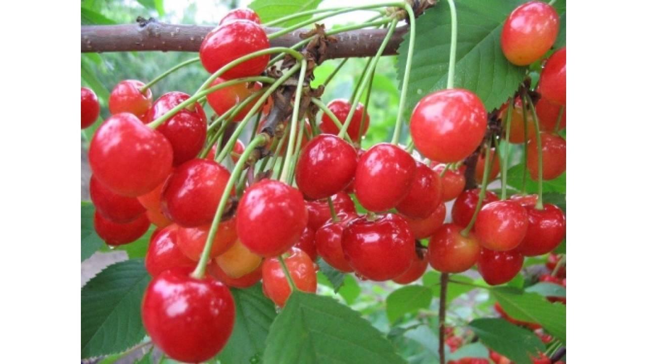 Черешня фатеж: описание и особенности выращивания сорта
