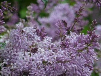 Сирень: посадка и уход в открытом грунте, выращивание, фото, описание, сорта, виды