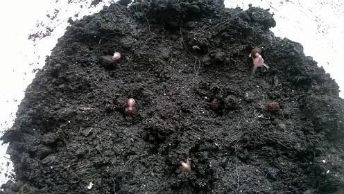 Цикламен: выращивание из семян, виды