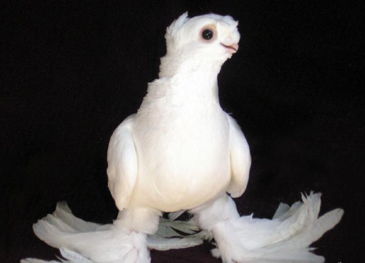 Узбекские двухчубые голуби: описание, характеристика, фото