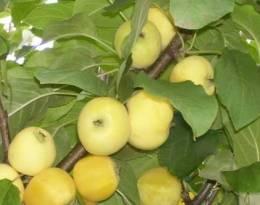 Яблоня китайка: описание и сравнение золотой ранней, керр, бельфлер и других разновидностей сорта, советы по выращиванию, а также фото
