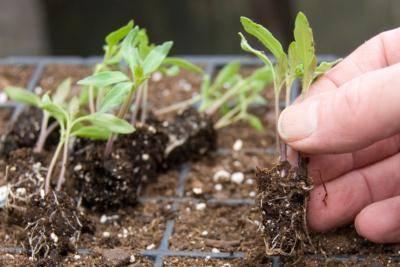 Пикировка помидор: когда пикировать, какой состав грунта выбрать, как правильно пересаживать рассаду томатов, если она вытянулась и обязательна ли это делать