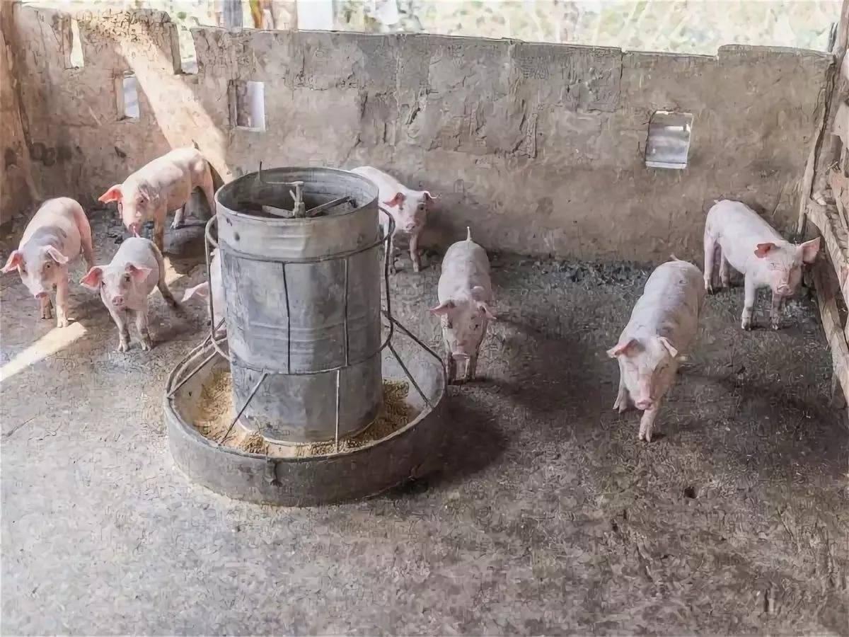 Кормушки и поилки для свиней своими руками