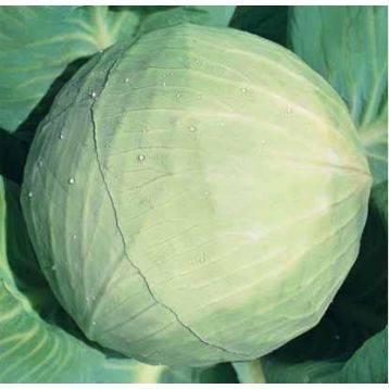 Характеристика капусты сорта белоснежка - мыдачники