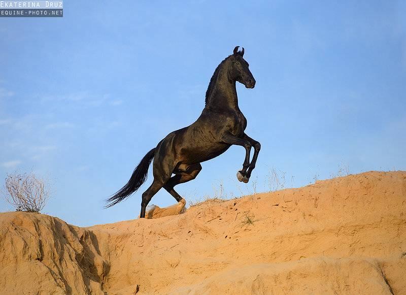 Марвари, порода лошадей: характеристики и фото