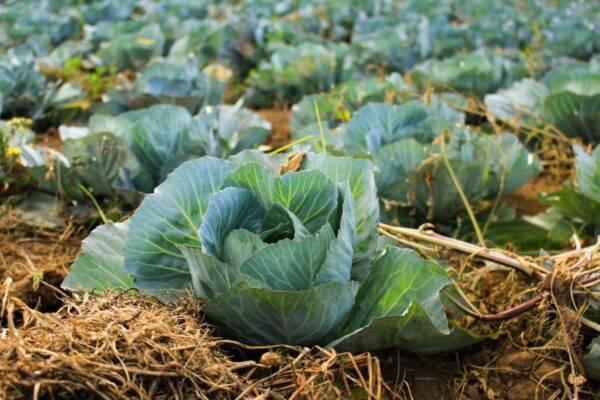 Посадка капусты в грунт рассадой – сроки, правила, советы