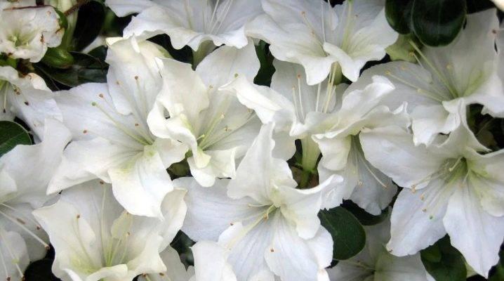Все об азалии: характеристика, описание, виды и фото, польза и вред, выращивание дома и другие нюансы