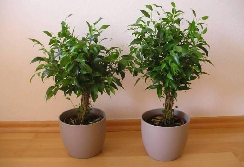 Фикус бенджамина: выращивание в домашних условиях и уход