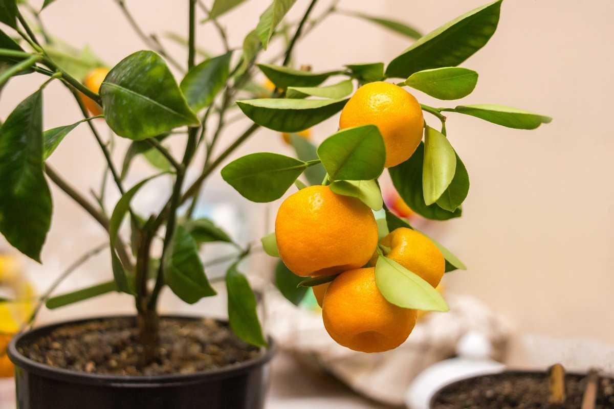 Виды цитрусовых комнатных растений