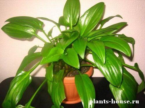 Луковичные комнатные растения: фото и названия