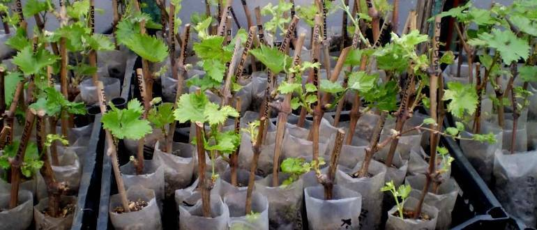 Черенки винограда: хранение зимой и проращивание весной, что делать дальше и как вырастить виноград из лозы в домашних условиях