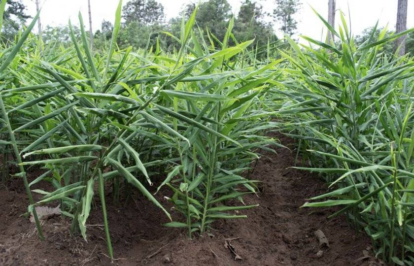 Как вырастить имбирь: где посадить, выращивание из корня и семян