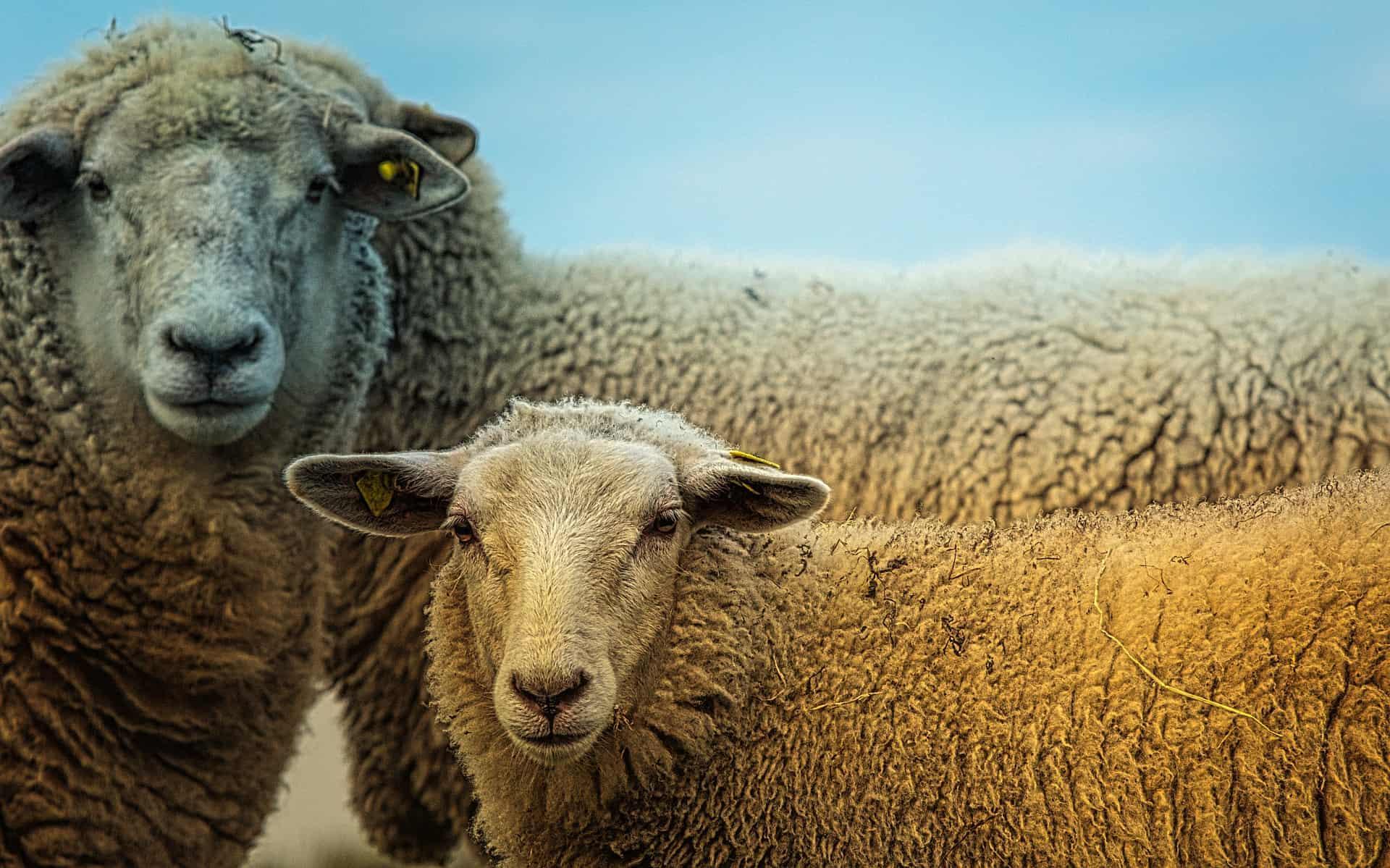 Овцеводство: разведение овец в домашних условиях для начинающих