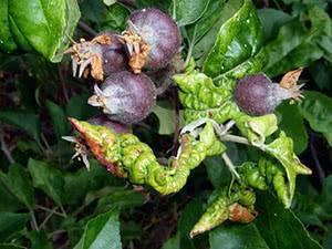 Почему появляется плесень на стволе яблони и как бороться с заболеванием, профилактика