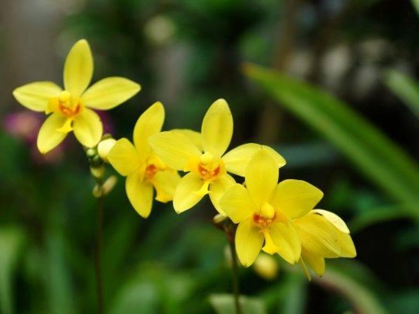 Орхидея макодес петола: уход в домашних условиях, пересадка