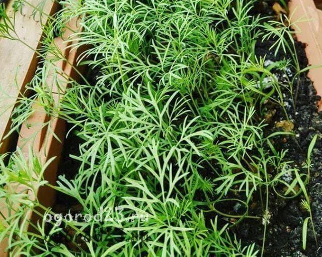 Выращивание укропа на подоконнике — как это делать правильно?