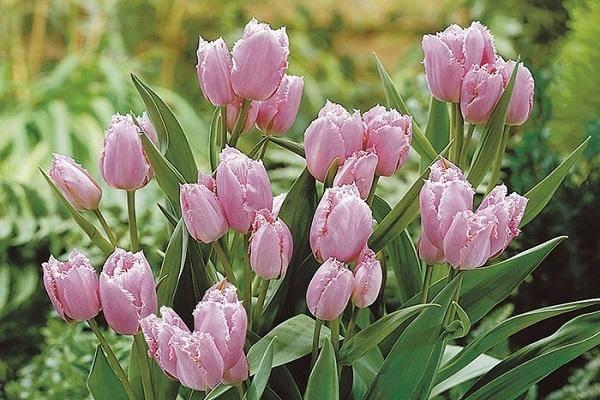 Розовые тюльпаны (20 фото): описание сорта «колумбус» и других сортов нежно-розового и бело-розового цвета