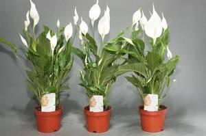 Цветок женское счастье с фото - как ухаживать и выращивать спатифиллум в домашних условиях