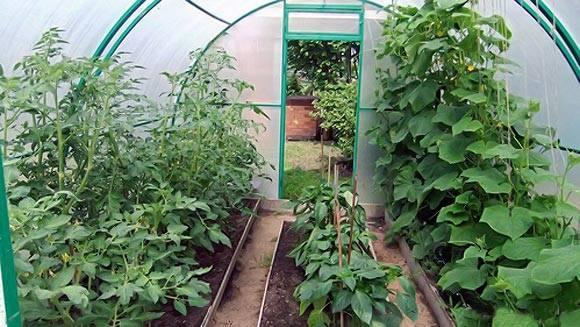 Что можно сажать рядом с помидорами – 15 вариантов и список нежелательных соседей