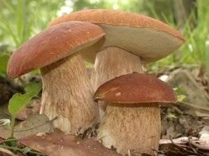 Где собирать грибы краснодарского края