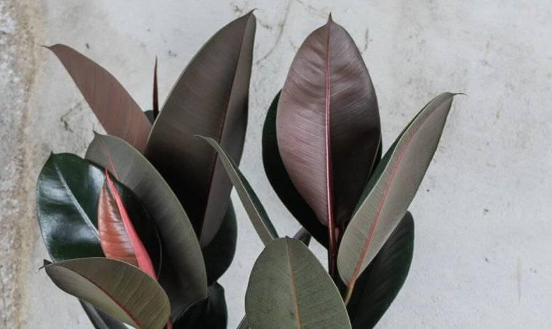 Как выглядит фикус бенджамина, разновидности растения, правила ухода, методы формирования кроны