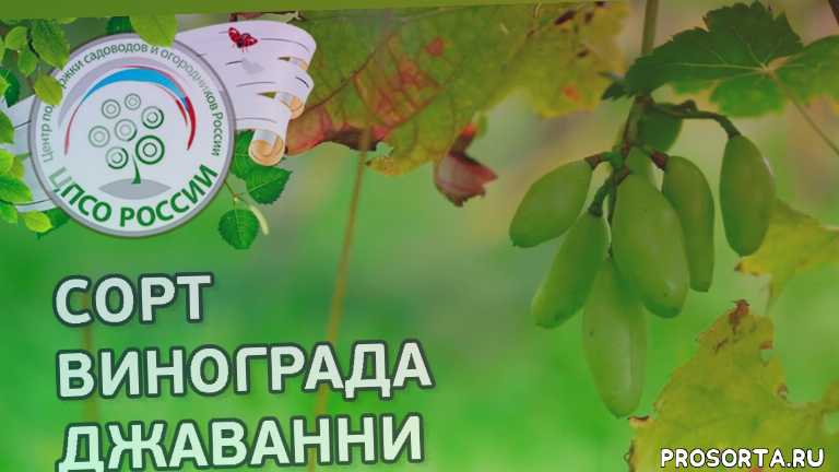 12 лучших винных сортов винограда для северного виноградника на supersadovnik.ru