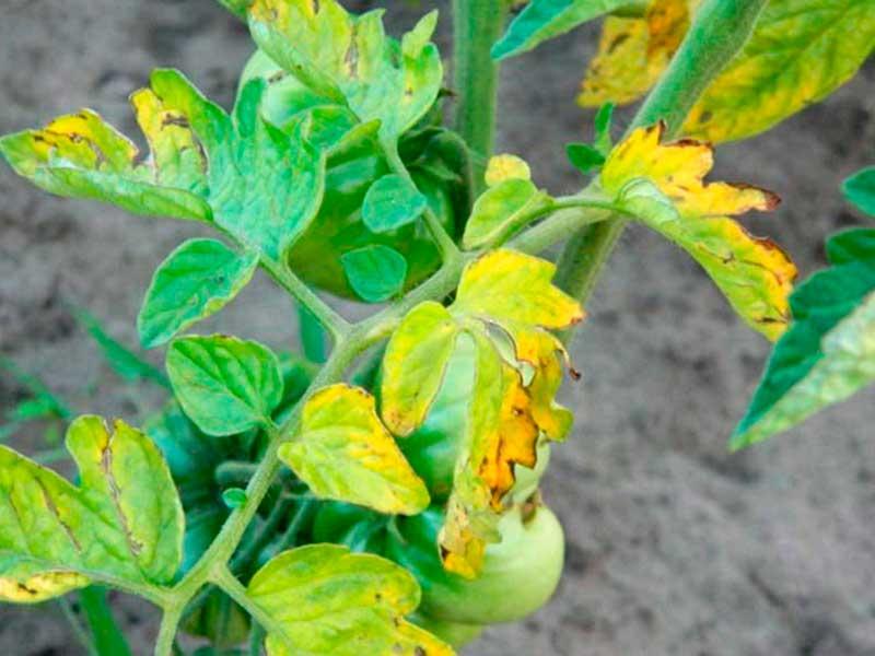 Фузариоз томатов – фото, описание и лечение в теплице народными средствами и препаратами