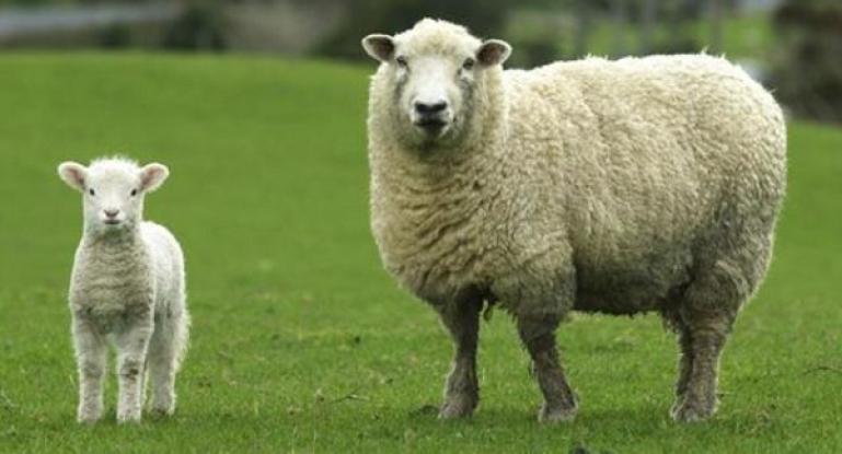 Свой бизнес на овцеводстве