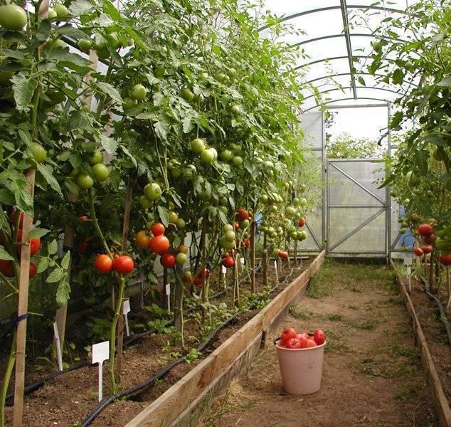 Почему обработанные помидоры полезнее, чем сырые? объясняет специалист