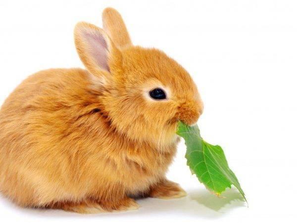 Сколько раз кормить кроликов в домашних условиях?