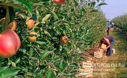 Яблоня подарок графскому: описание сорта и отзывы садоводов