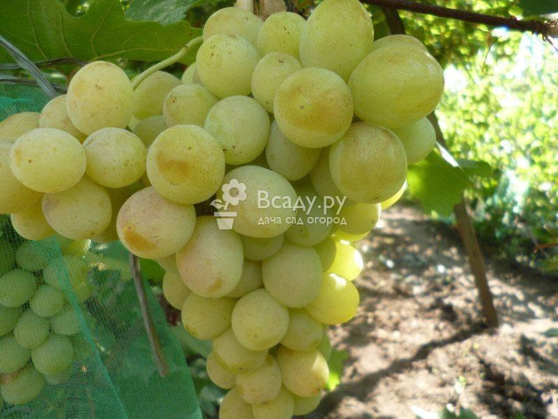 Виноград «лора» (флора): описание сорта, фото, видео и отзывы