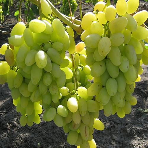 Неприхотливый виноград для новичков — сорт мариновский