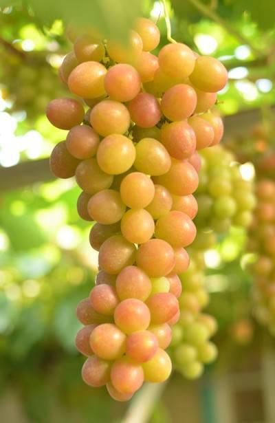 Виноград; блестящий: описание сорта с фото и видео
