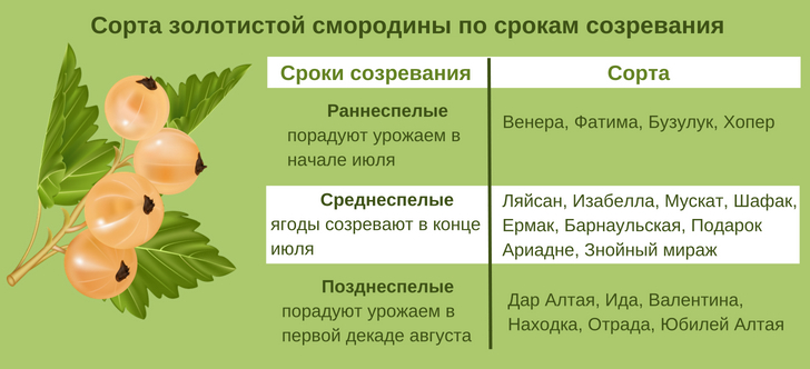 Смородина золотистая. описание, выращивание, уход. фото — ботаничка.ru