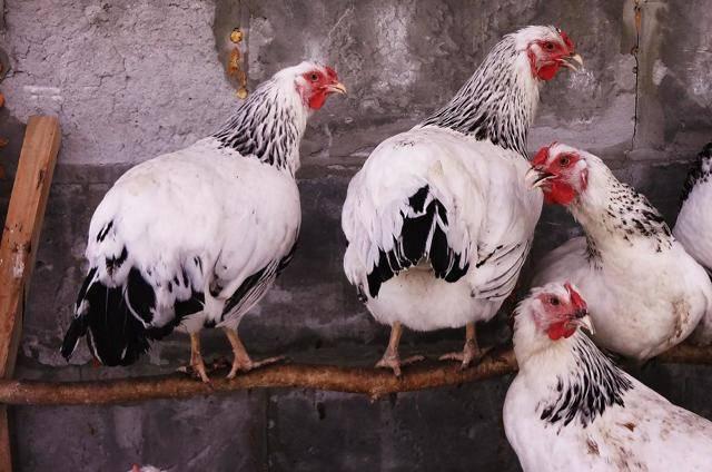Первомайская порода кур: описание, продуктивность, происхождение, фото