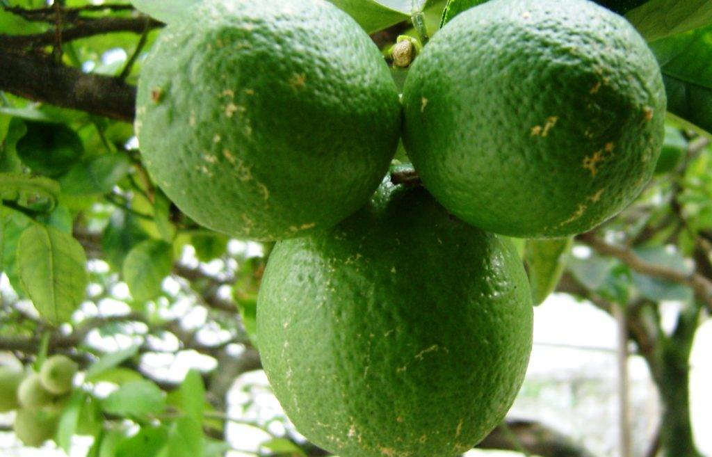 Лайм — описание растения и фрукта, польза и вред, калорийность, состав. как выбирать и хранить лайм, рецепты, выращивание дома