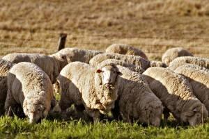 Главные аспекты овцеводства