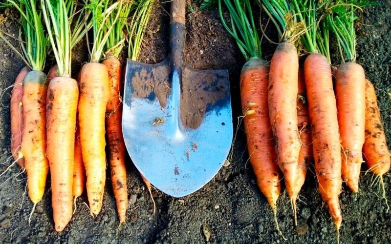 Самые сладкие сорта моркови с отзывами и фото