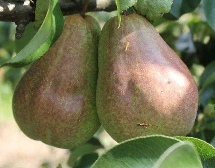 Сорта груши русская и брянская красавица: описание, фото