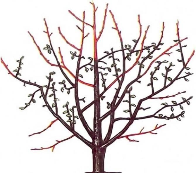 Схема обрезки яблонь осенью: как увеличить урожайность и не навредить дереву?