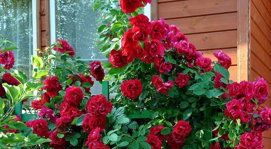 Как сохранить плетистые розы зимой: правильная осенняя обрезка