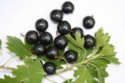 Описание сорта смородины черный жемчуг