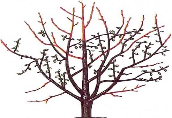Обрезка грецкого ореха осенью весной летом как правильно схема видео - скороспел