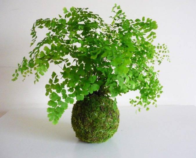 Адиантум adiantum - описание, уход, проблемы выращивания, размножение